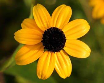 Brown Eyed Susan 500 Seeds Rudbeckia BUY 2 Orders Get 1 FREE perennial #116