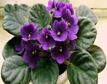 200pcs/bag african violet seed, garden flowers seeds Violet Seeds
