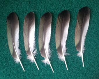 Common shelduck (Tadorna tadorna) naturally molted feathers. Cruelty Free