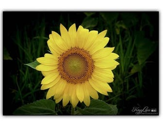 Sunflower Black Framed Wall Art Photography