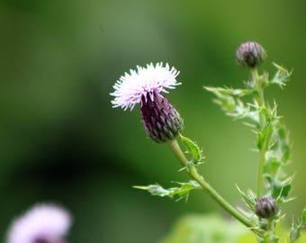 Thistle, flower, nature, wildlife, digital print