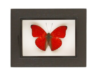 Real Red Butterfly Sangria African Insect Display