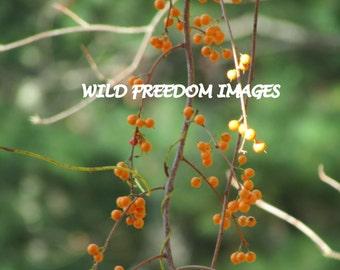 Yellow Berries