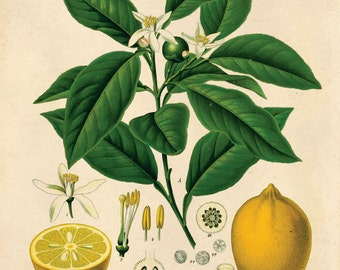 Botanical Lemon Chart Citrus Print. vintage Educational Chart Diagram Poster Chart from Kohler's Citrus Tree Botanical Poster- CP236
