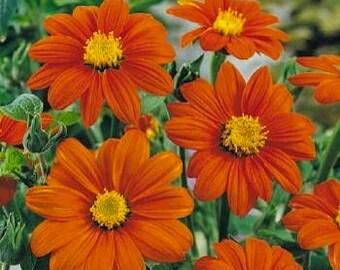 Tithonia rotundifolia - Mexican sunflower (40 SEEDS)