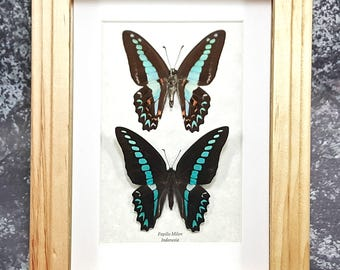 FREE SHIPPING Framed Graphium Milon or Milon's Swallowtail Butterfly Taxidermy A1/A1- #80
