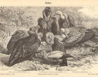 1895 Old World Vultures, Griffon Vulture, Egyptian Vulture, Black Vulture Original Antique Engraving to Frame