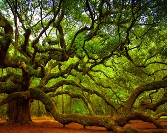 Charleston SC Photography Landscape Photos South Carolina Nature Photography Fine Art Photography Tree Print Angel Oak Tree Art