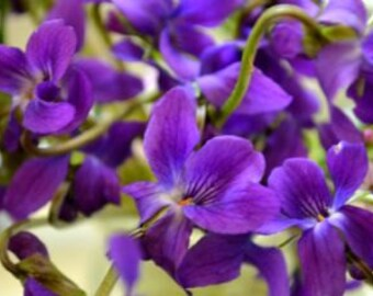 Sweet violet seeds, 49, aubrieta violet, flower seeds, gardening, purple violet,