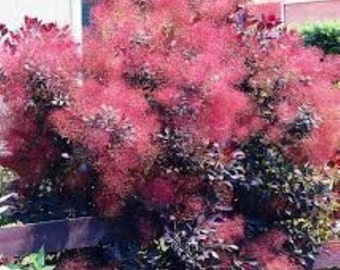 Royal Purple Smokebush Tree ( cotinus ) - Live Plant -  Quart Pot