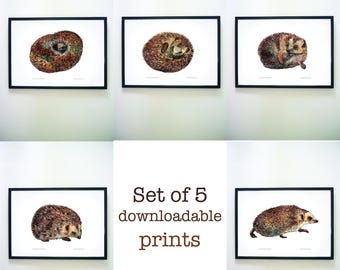 Set of 5 printable hedgehogs unrolling