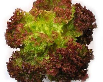 Lettuce LOLLO ROSSA seeds 2 g