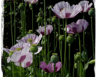 Papaver somniferum #1 'EXTAZ' POPPY 1500+ SEEDS!