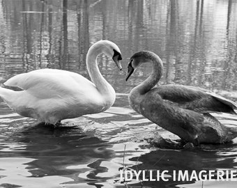 Mute swan and cygnet