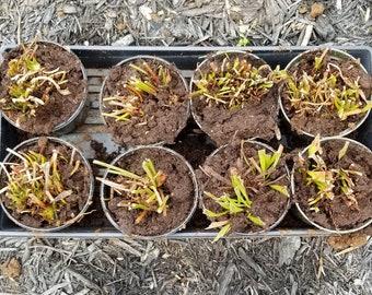 XL Mixed Sarracenia Pitcher Plant