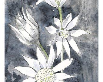 Flannel flowers art, native flower print, native flora art, nature wall art, botanical art print, Australian flora art, botanical wall art