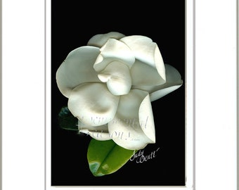 Flower art print, Southern magnolia, botanic artwork, wall art,  in white double mat 8x10 inches and 11x14 inches