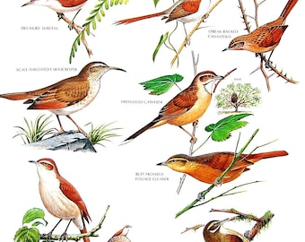 Vintage Bird Print - Des Murs' Wiretail, Rufous Hornero, Scale Throated Earthcreeper - 1990 Vintage Book Page - 11 x 9