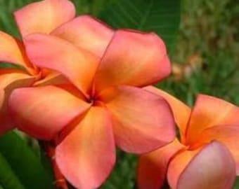 Plumeria Frangipani 'Orange Peach' 4 Stunning Seeds