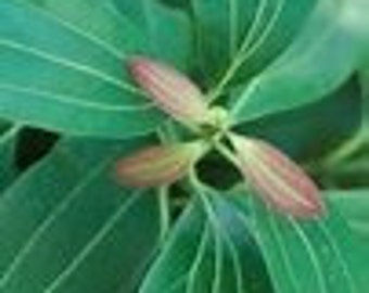 Cinnamon Leaf Pure Essential Oil Aromatherapy Oil