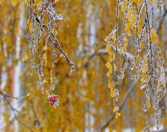 Autumn Photography, Frozen Leaves Photo, Rowan Plant, Fall Prints, Gold Wall Art, Home Decor, Botanical, Nature Photography, Autumn Cards