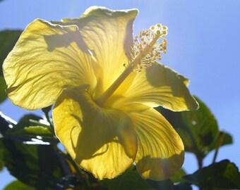 Sunny Hibiscus Photographic Pring