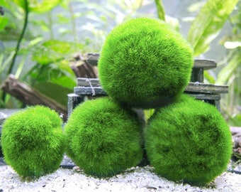 Marimo Moss Balls - Indoor Plants for Terrarium Containers / Glass Jar Aquarium Display Kits -  Mix Packs of Natural Home Decor Centerpieces