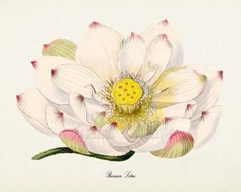 Russian Lotus Flower Art Print, White Lily Botanical Art Print, Flower Print, Floral, white yellow