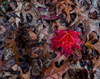 Red Maple Leaf Photo, Fall Photography, Red Wall Decor, Leaves Photography Print, Autumn Print, Red Wall Art, Nature Photography