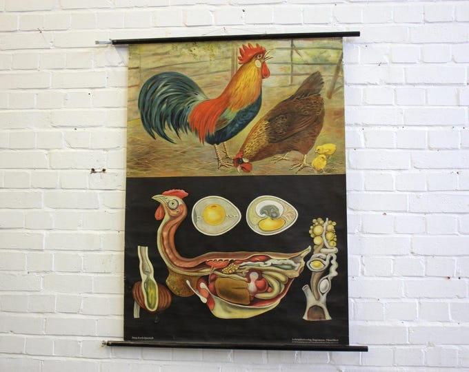 Anatomical Chart Of The Chicken German Circa 1950's