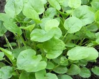 Upland Cress Seeds, WinterCress, Barbarea verna, Cresson, early winter cress, Creasy Greens, Cool Season Annual, Sprouts