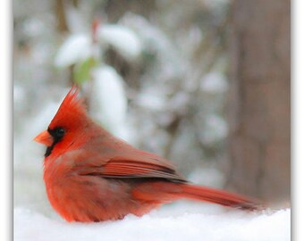 Male Cardinal Snow Portrait