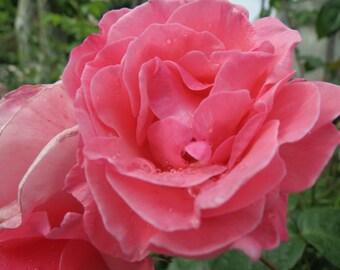 Blushing Bride Rose