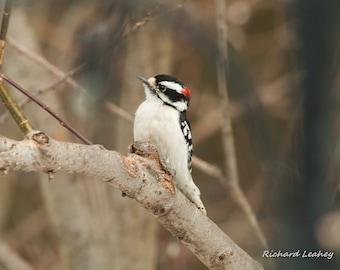 Cute Little Downy Woodpecker