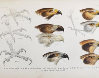 1901 Scarce Antique Chromolithograph of Drawings by  Hermann Schlegel Eagle; Osprey; Harrier