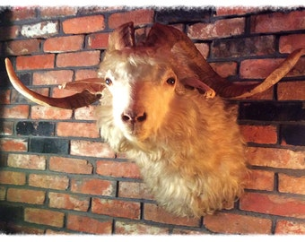 SOLD! Vintage Taxidermy, Angora Goat Shoulder Mount. Huge horns!