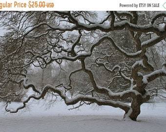 SALE 20% Off Japanese Maple Tree in Winter, Landscape Photograph, Old Tree in Snow, Nature, Tree of Life, Art Print, Zen, Woodland, Black an