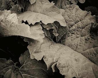 burdock, 8x10 fine art black & white photograph, nature