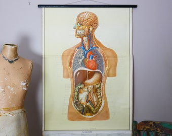 Vintage anatomical Wall Chart Human body skeleton Scientific classroom map FRENCH 1951 internal organs