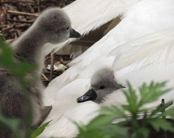 Curious Cygnets - Baby Swan - 2 days old Cygnets - Baby Animal - Swan With Cygnets - Cute - Tenderness -  Bird - Nature - Swan Photograph