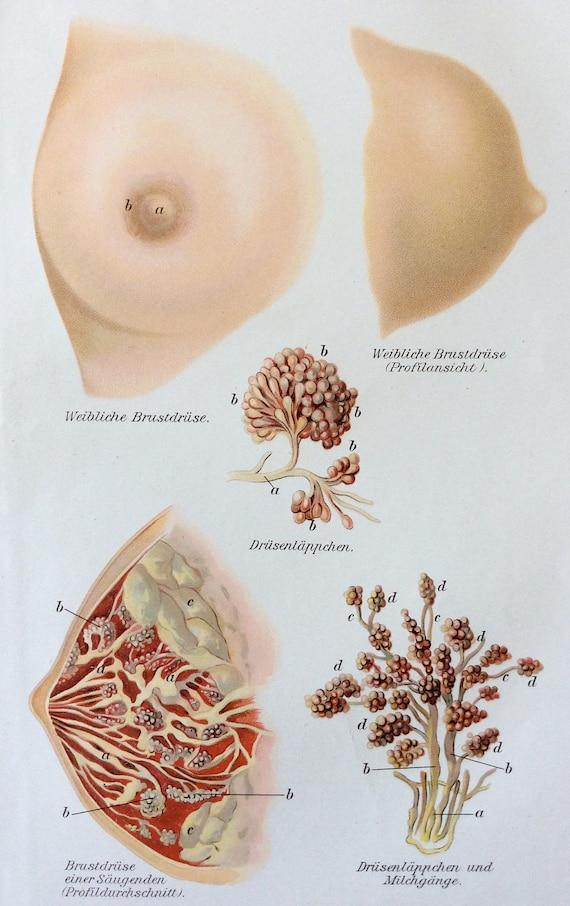 Jahrgang 1905 deutsche Brust Mamma Medizin Anatomie Diagramm