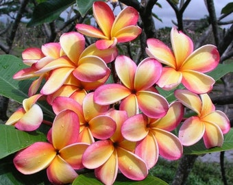 One Rare PLUMERIA Cuttings 8 to 11 inches long! Yellow, peach and pink flowers. Huge curling  flowers exotic scent!