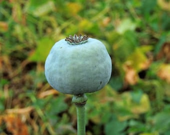 Poppy Seeds, Papaver Somniferum, Unwashed, All Natural, 1 ounce (60,000 seeds)