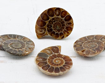 Ammonite Pair Gemstone Fossil - Stone of Accepting Change in Life