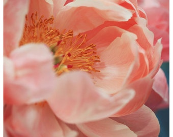 Nature Photograph - Peony Photograph - Flower Photograph - Spring Art - Paeonia 8 - Fine Art Photograph - Floral Art - Botanical Art Print