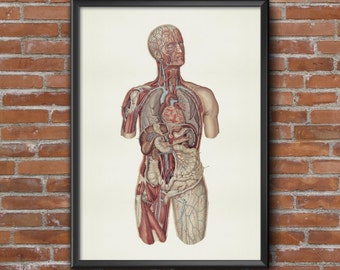 Old vintage Illustrations of human anatomy-anatomy-body medical Prints