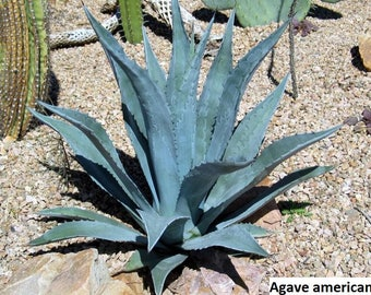 Agave americana (Century Plant, American agave) / 10 seeds