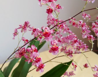 Mini Orchid Plant Oncidium Twinkle Pink Very Fragrant Easy Beginner's Orchid Compact CANADA
