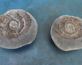 Superb large Jurassic DACTYLIOCERAS WHITBY AMMONITE Fossil Matrix Positive & Negative
