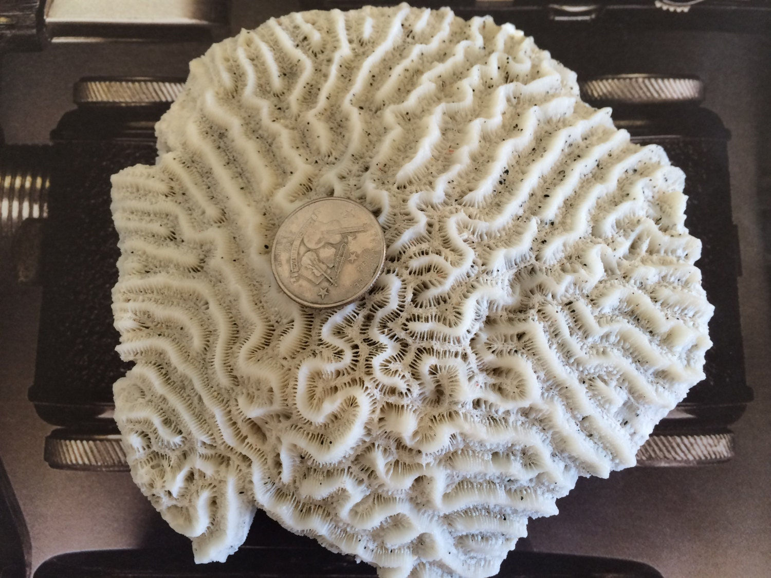 Fossil Coral Rocks Fossils Natural White Coral Fossils Very